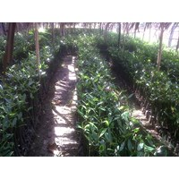 Jual Mangrove Dan Cemara Laut