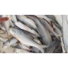 Ikan Senangin