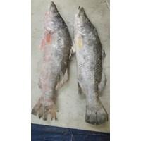 Baramundi Fish