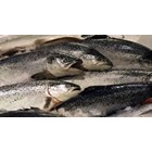 SALMON NORWAY seafood 2