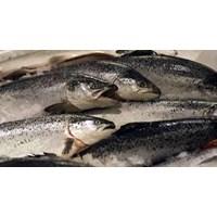 Ikan Salmon Ikan Beku dan Fillet
