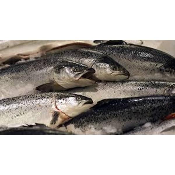 SALMON NORWAY seafood