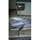 Ikan Tenggiri 2