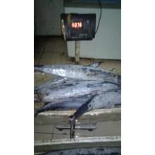 Ikan Tenggiri