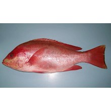 Sawo Snapper Fish