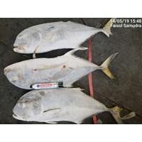Pompeno fish
