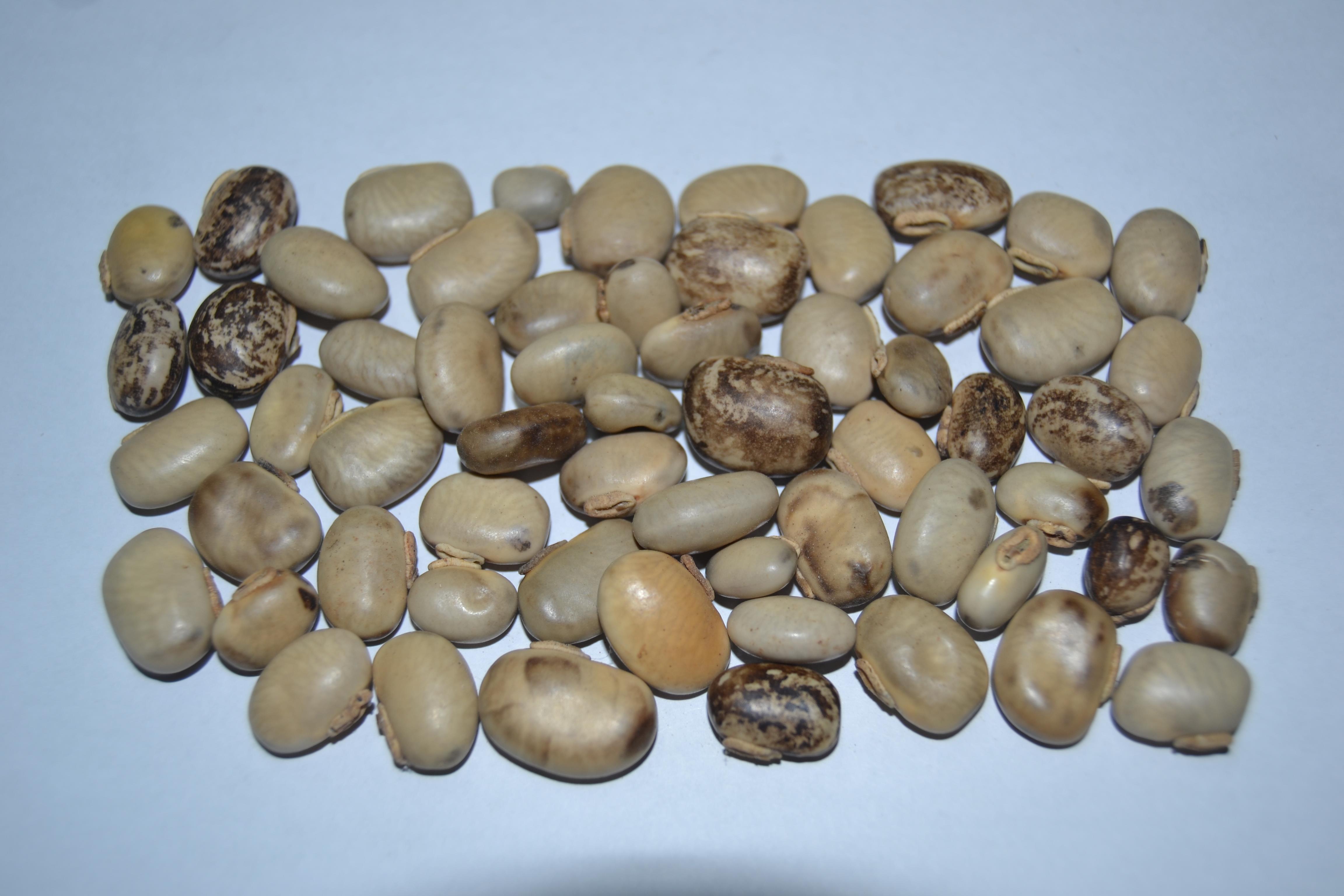 Jual Kacang Kacangan Jakarta Beli Distributor Supplier Polong Hijau Pr 250gr Siap Makan Mucuna Cochinensis Mc