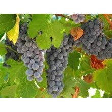 Bibit Buah Anggur Probolinggo Biru 81