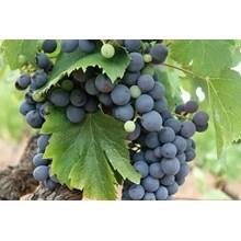 Bibit Buah Anggur Hitam