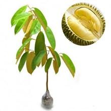 Bibit Buah Durian Matahari