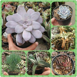Sell Succulents And Cacti Mini From Indonesia By Toko Dieia Olshop Cheap Price