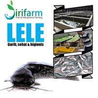 Jual Jirifarm Ikan Lele Segar Dan Higienis Pakan Pelet 100% (Dari Benih Ikan Lele Unggulan)