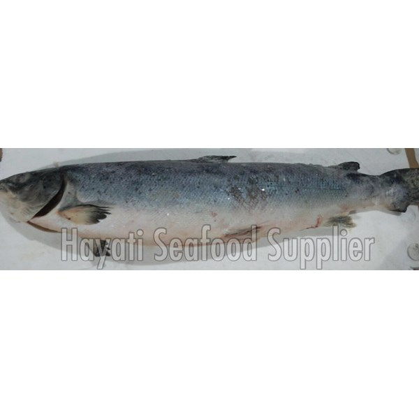 Fresh and Frozen Salmon