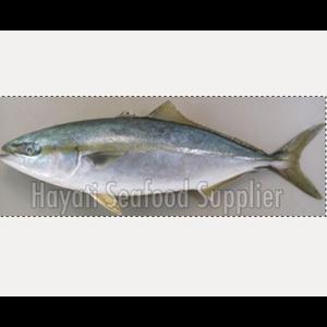 Yellowtail Fish Or Buri