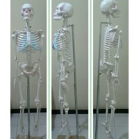 Anatomi Manusia Alat Peraga Kerangka APM - 46 Termurah