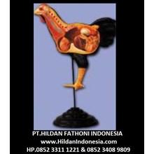 Alat Peraga Biologi APP-01 Anatomi Torso Ayam