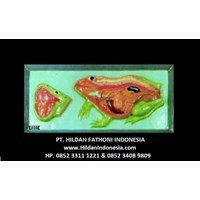 Jual Alat Peraga Biologi Katak APP 08 Manikin Anatomi Tubuh Katak 2