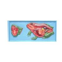 Alat Peraga Biologi Katak APP 08 Manikin Anatomi Tubuh Katak