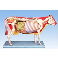 Alat Peraga Anatomi APP 09 Tubuh Sapi - Torso Sapi