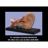 Jual Jual Alat Peraga Pendidikan APP 10 Torso Telinga Manusia