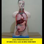 Torso Alat Peraga Organ Dalam Half Body - Setengah Badan 1