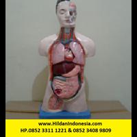 Torso Alat Peraga Organ Dalam Half Body - Setengah