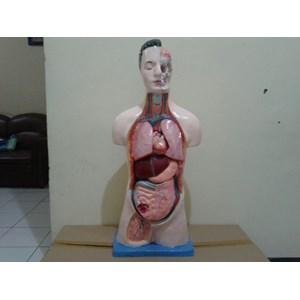 Dari Torso Alat Peraga Organ Dalam Half Body - Setengah Badan 1