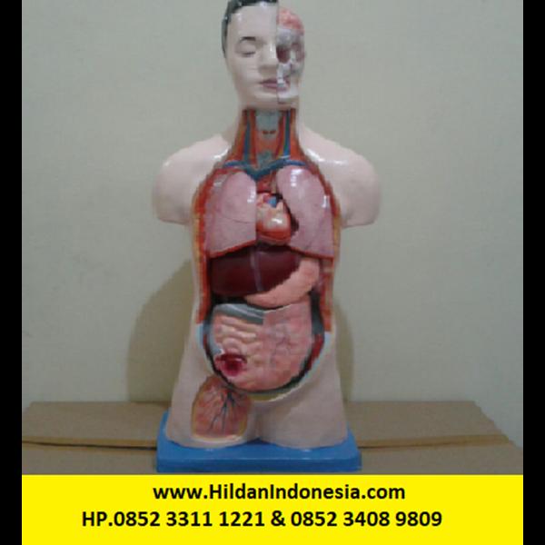 Torso Alat Peraga Organ Dalam Half Body - Setengah Badan