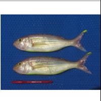 Ikan Kelisih