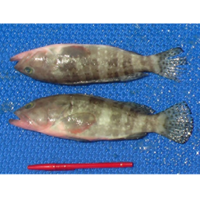 Ikan Kerapu Monyek