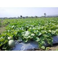 Produk Plastik Pertanian Mulsa Pertanian Termurah  1