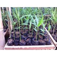 Produk Plastik Pertanian Polybag Tanaman Jahe Merah Di Lampung