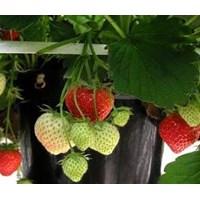Jual Produk Plastik Pertanian Polybag Strawberry 081232584950