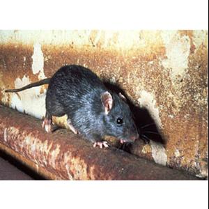 Clean Rat By Adhi Duta Sarana