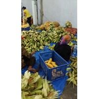 Jual Jagung Manis Pipil - Global Sweet Corn 2