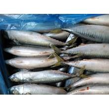 Ikan Segar Layang Beku