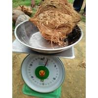 Jual Buah Segar Kelapa Kupas ( Coconut ) 2