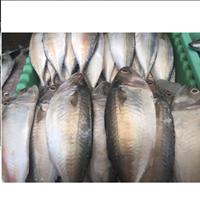 Jual Ikan Kembung
