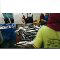 Penyortiran Ikan