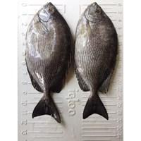 ikan baronang fresh