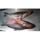 Ikan Patin RUM 1