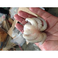 Distributor Baby Octopus RUM 3