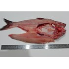 Butterfly Pangasius Fish 2