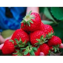 Buah strawberry murah