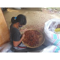 Beli Biji Mahoni Kering Penampung Biji Mahoni Dengan Harga Terbaik Lokasi Purworejo Jawa Tengah  4