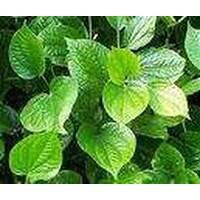 Pueraria Javanica Legume Cover Crop