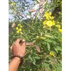 Kacangan Crotalaria Juncea (CRJ) 3
