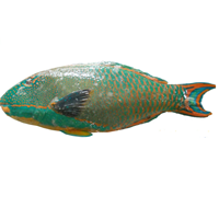 Ikan Kakatua 1