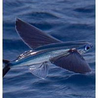 Ikan Terbang 1