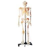 Jual Human Skeleton (Rangka Manusia Menggambarkan Skeleteon)